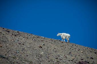 Glacier National Park mountain goat