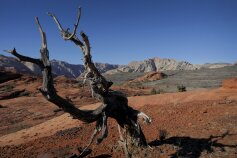 dead tree near St George, Utah