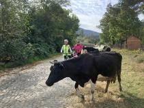 Cows Along Path Balkans Bike Tour