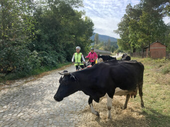 Cows Along Path Balkans Bike Tour
