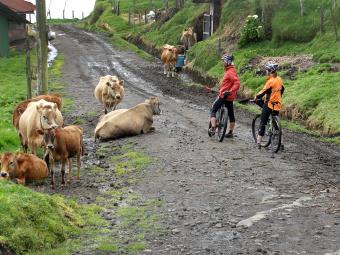 Cows along bike path Costa Rica Bike Tour