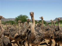 Ostriches South Africa Bike Tour