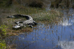 Alligator seen during Florida Everglades and the Keys Bike Tour