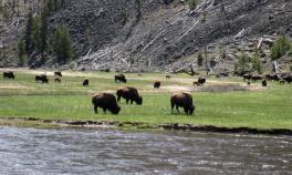 Buffalos Yellowstone and Grand Teton National Parks Bike Tour