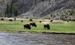 Buffalos Yellowstone and Grand Teton National Parks Bike Tour