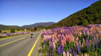 Cyclist in Chile rides alongside wildflowers.